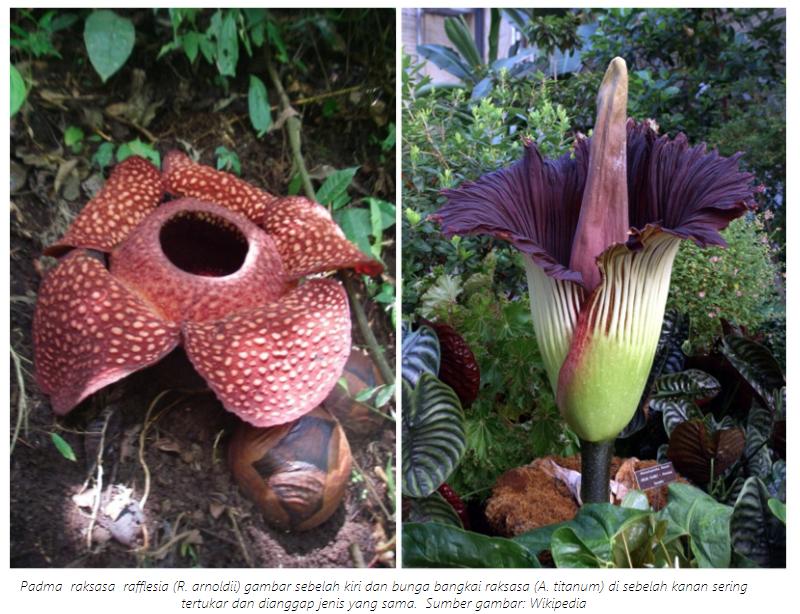 Hal yang Unik dari Bunga Rafflesia